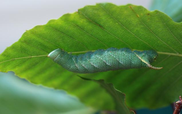 sn-caterpillars