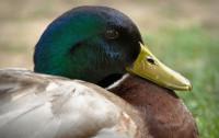sn-ducks