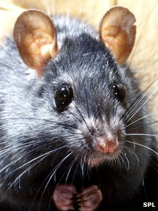 _56735648_z9180302-black_rat-spl