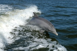 si-bottlenose dolphin